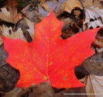 Autumn is: maple leaves, syrup, and cider mills